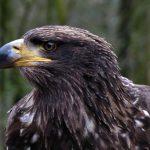عقاب گمشده